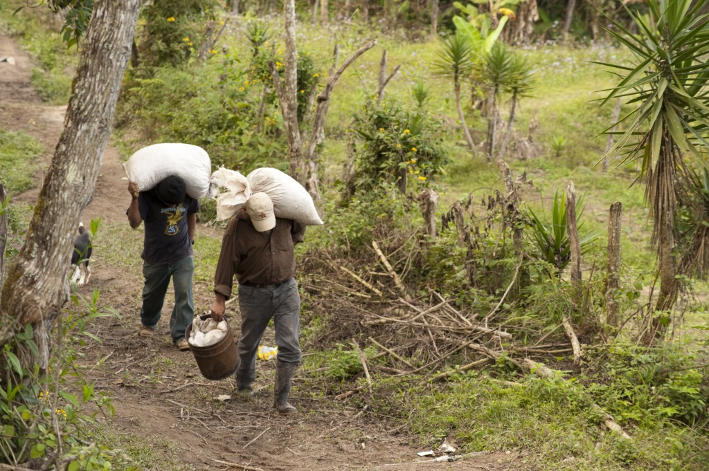 Coffee Farmers Carrying Harvest